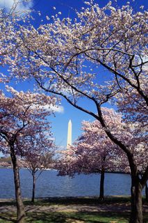 Cherry blossoms in Washington, D.C. Image courtesy blog.mobissimo.com