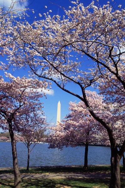 399px-Washington_C_D.C._Tidal_Basin_cherry_trees