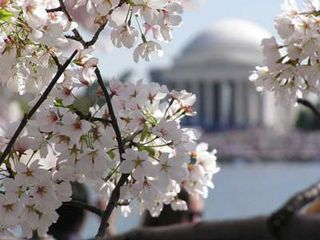 Cherry blossoms in Washington, D.C. Image courtesy dckaleidoscope.wordpress.com/2009/03/05/